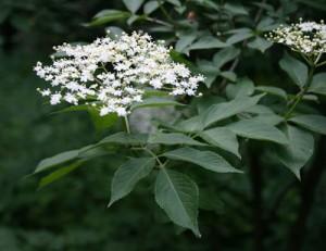 elder flowers - Sambucus nigra