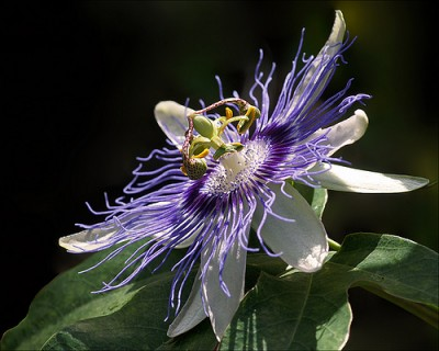 passionflower, anxiety, stress, herbal remedy